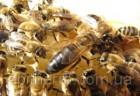 Пчеломатка.«Карпатка» тип «Вучковский».Отправка с Мукачево Новой Почто