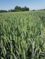 ѕродам нас≥нн¤  пшениц≥ Ћеннокс.ƒворучка.«имо¤рка