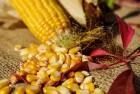 Органическое удобрение из сапропеля для кукурузы
