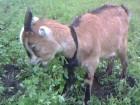 Коза ламанчи продам