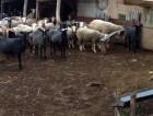 маточное поголовье овец