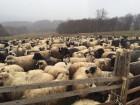 Продаются упитанные эко - овцы. Недорого. Возможна разделка