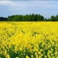 —емена горчицы желтой