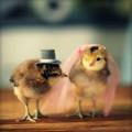 продажа / обмен суточных цыплят