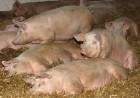 закупаем свиней строчно  по хорошей цене 110 120 130 140