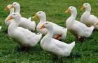 Цыплята, индюшата, утята и гусята.
