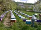 Продам бджоломатки карпатки приймаю замовлення на весну 2019 - Превью изображения 3