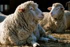 Продам овец породы прекос