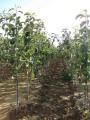 Продаємо сажанці абрикосу з власного саду ТОВ
