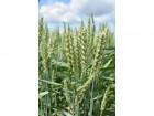 """ѕродам семена пшеницы """"ризо 1¤ репр-ци¤ 'арьковска¤ обл.! ќпт."""