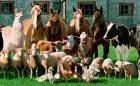 Закупаем коров и свиней живым весом оптом