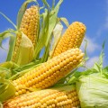 Закуповуємо кукурудзу 2016 року врожаю по всій території України