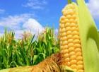 Семена кукурузы Симона ФАО-360
