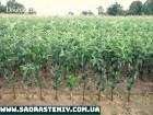 Продажа саженцев груши, нектарина, черешни, сливы и многое другое