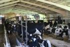 Продам КРС оптом быки телята коровы
