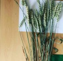 Новелл (Novell), Джерси (JERSEY) семена  высокоурожайной пшеницы. - Превью изображения 2