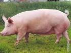 Комбикорм для свиней откорм тм Мультигейн