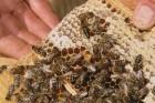 терміново! бджолопакети Карпатка продам вигідно