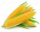 Продам Семена Кукурузы G-Host (Канада)