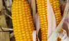 Насіння кукурудзи Амарок (Кукуруза) ФАО 220