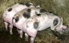 Продам домашні свині від 100 кг і більше
