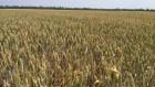 Насіння озимої пшениці сорт Матрикс-51 ц/га-цього року