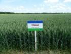 Насіння озимої пшениці сорт Тобак-82 ц/га-цього року!