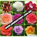 Саженцы роз, фундука, алычи, кизил, плодовые деревья и кустарники