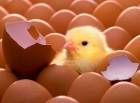 Инкубационное яйцо бройлера КОББ-500