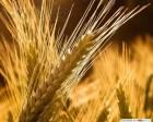 Насіння Пшениці ярої Струна Миронівська