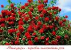 —аженцы роз