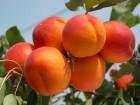 Продам абрикос от производителя оптом.