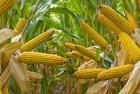 Куплю кукурузу в початках или початки крупный опт