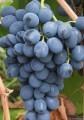 Продам столовий виноград сорт Юпитер