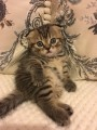 ѕродам вислоухого шотландского котенка