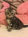ѕродам шотландского вислоухого котенка