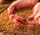 Насіння пшениці від 8000 грн за тонну