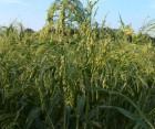 ѕродам посевное просо сорт Ѕела¤ јльтанка и ѕолтавское «олотистое