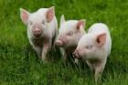 Комбикорм для свиней напрямую с производства