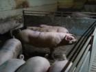 свинки породи уельс