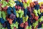 Предлогаю к продаже отменный виноград 400 т.