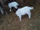 Купить Бурские козы в Украине