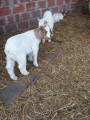 Продам кіз бурської породи мясної породи