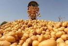 Продам картофель, сорта Ла Перла, Ривьера и Гранада, семенной картофе