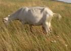 Козы (стадо молочных коз продам)