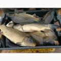 Продам живe. рыбы. Щука, карп, толстолоб, сом, амур,щука,линь