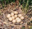 »нкубационные ¤йца фазанов декоративных пород