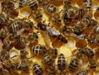 Куплю пчелопакеты карпаток