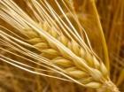 Пшеница , фураж , зерно