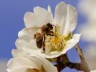Ќастойка пчелиного подмора, 100мл
